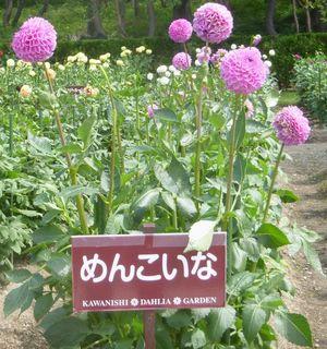 ○ダリア めんこいなP1040105.JPG