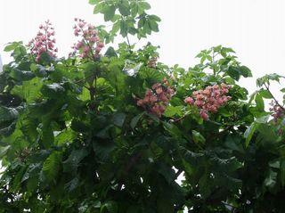 マロニエの花 003.jpg