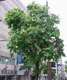 マロニエの花 006.jpg