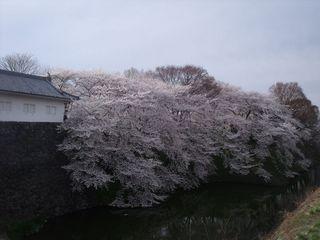大手門の桜 004.jpg