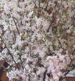 桜切りぬき.jpg