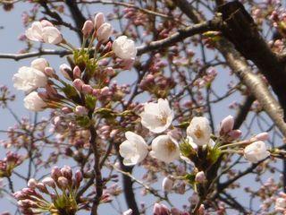 第2小学校校庭桜(その1).JPG