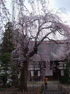 H25.4.17 桜 001.jpg