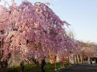 ○天童舞鶴山公園の桜P1060351.jpg