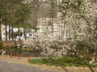 ○桜(圧縮)1050971.jpg