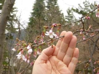 ○桜(圧縮)P1050964.jpg