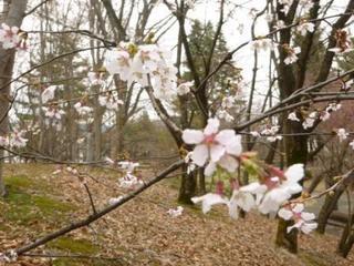○桜(圧縮)P1050969.jpg