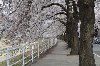 馬見ヶ崎川の桜�@.jpg