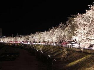 馬見ヶ崎川の桜�A.jpg
